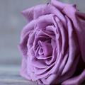 Rose75