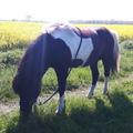 Ponybuchfee